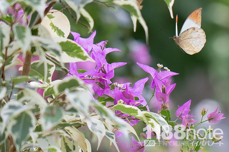 広島市森林公園 昆虫館 パピヨンドームの蝶々