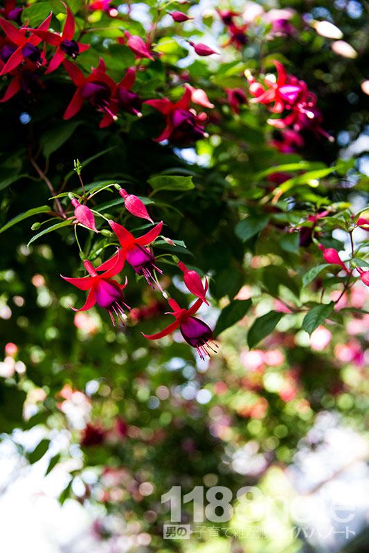 広島市植物公園のフクシア温室