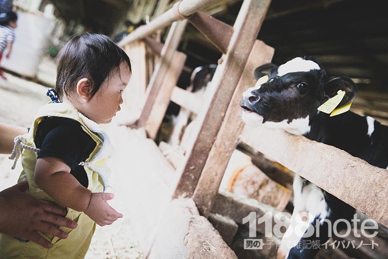 久保アグリファームの子牛