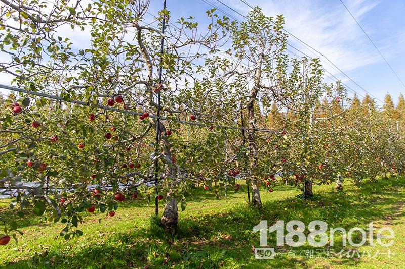 果実の森公園で収穫をまつリンゴ